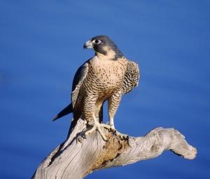 A Peregrine Falcon. Not the Peregrine Falcon
